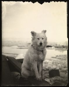 Dog atop her doghouse on arctic sea ice    Taken by Fridtjof Nansen, June 1894