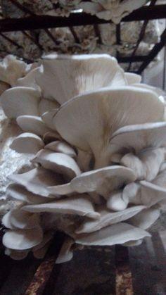 İstiridye mantari oyster mushroom