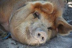 Pig, Sleep, Happy Pig, Farm, Domestic Pig, Sow