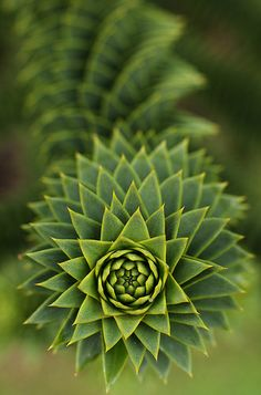 Fractal - branch from the Monkey Puzzle tree Conifer Trees, Trees And Shrubs, Trees To Plant, Plant Leaves, Monkey Puzzle Tree, Cactus Y Suculentas, Patterns In Nature, Science And Nature, Shades Of Green
