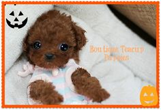 Tiny Rosy Gorgeous Dark Apple Red Micro Teacup Poodle AVAILABLE!