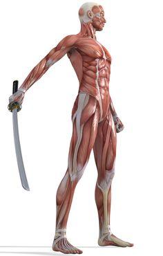 Hibou花花采集到人体(213图)_花瓣 Human Muscle Anatomy, Human Anatomy Drawing, Human Poses Reference, Anatomy Reference, Anatomy Sculpture, Fighting Poses, Anatomy Poses, Anatomy Sketches, Anatomy For Artists