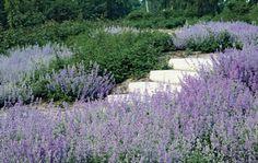 Nepeta Tuin & Landschap | Tien vaste planten voor het openbaar groen