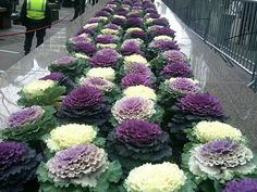 winter garden Top 10 Flowers That Bloom in Winter Cabbage Plant, Cabbage Flowers, Exotic Flowers, Purple Flowers, Beautiful Flowers, Top Flowers, Winter Plants, Winter Flowers, Zen Gardens