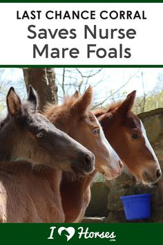 We interviewed Last Chance Corral founder Victoria Goss, who rescues nurse mare foals. And Victoria shares important information on saving horses during the breeding process. | #ihearthorses #news #horsenews #horserescue