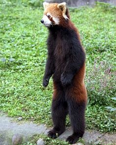 The red panda (Ailurus fulgens), also called lesser panda and red cat-bear, is a small arboreal mammal native to the eastern Himalayas and southwestern China. Description from listal.com. I searched for this on bing.com/images