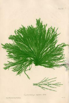 Nature Printed Seaweed by Henry Bradbury 1859