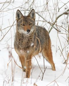 Coyote in the Snow                                                                                                                                                                                 More