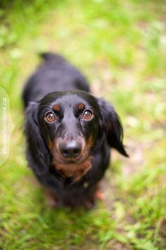 Meet Zakk! This little heart-stealer is about 2 and was a surrender from Montreal. He's really sweet, but still a bit nervous and really loves sticking close to his foster mom.  Zakk is available through Canadian Dachshund Rescue, Ontario  http://wienerdogrescue.com