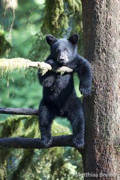 Black bear cub just chillin in a tree