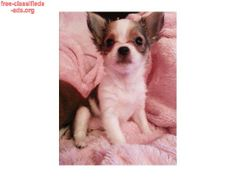 free-classifieds-ads.org - lovely chihuahua puppies for sale