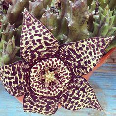 #fiore #piantagrassa #meravigliadellanatura #maculato #macomesichiama?