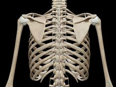 thoracic-cage-posterior-vertebrae-spine-ribs.png (1280×960)