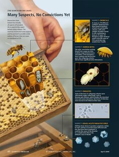 Colony Collapse Disorder [ROLE: illustration and page design;
