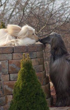 Afghan hounds love