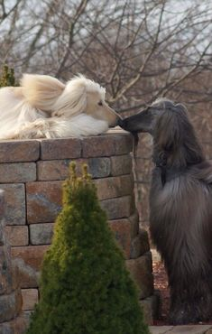 Afghan hounds love