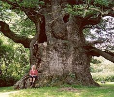 The Majesty Oak Tree stands on the Fredville Estate Park in Kent and is considered the mightiest and finest of all ancient trees in Britain.  Photo: Jeroen Philippona