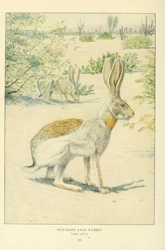 Antelope jack rabbit, Wild Animals of North America, Intimate Studies of Big and Little Creatures of the Mammal Kingdom. Nelson, Fuertes, and Grosvenor, 1918.