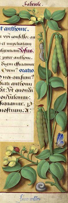 Faverolles - Faberole (Phaseolus vulgaris L. = haricots) -- Grandes Heures d'Anne de Bretagne, BNF, Ms Latin 9474, 1503-1508, f°194r