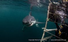 Close encounter.... experience it yourself in False Bay, South Africa! www.sharkexplorers.com