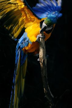 The blue-and-yellow macaw (Ara ararauna), also known as the blue-and-gold macaw. South America.