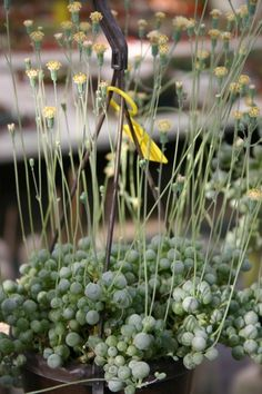 Senecio citriformis ... I haven't seen it in flower before :)