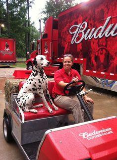 "budweiser dalmatians | Dogwood Greg the ""biggest"" Clydesdale!"