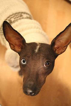 Xoloitzcuintle; Xolo, for short, aka Mexican hairless. New at the Westminster Dog Show this year.