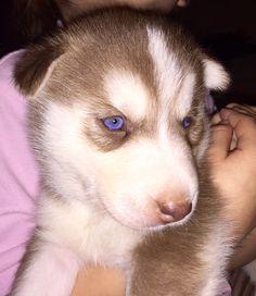 My little beaut #husky #love #puppy