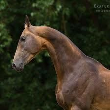Akhal-Teke is a very rare Turkish horse said to have come across the Bering Strait to America in ancient times. There is proof that we had horses before the Spanish brought theirs.