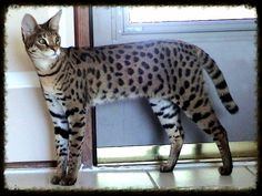 Do Savannah Cats Get Along With Dogs