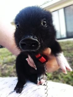 Tiny pig.