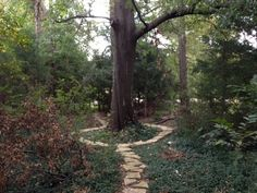 State Champion Cherry Bark Oak  on the Trail of Champions - Photo by CS Lent