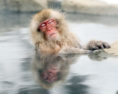 Nagano, Japan: A snow monkey relaxes in a hot spring