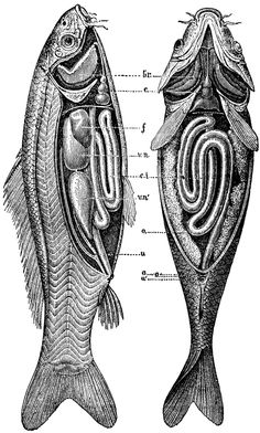 An poster sized print, approx (other products available) - illustration engraving of a common carp anatomy - Image supplied by Fine Art Storehouse - Poster printed in the USA Fish Anatomy, Anatomy Art, Animal Anatomy, Common Carp, Anatomy Images, Fish Illustration, Medical Illustration, Historia Natural, Bucky