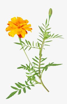 African marigold free download PNG and Clipart