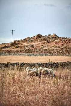 Sheeps in Mykonos
