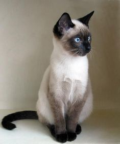 Siamese - The most wonderful cat I ever owned! She used to take walks with me, unleashed. Talking all the way.