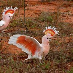 Australian birds a lot smarter than we might think - ABC News (Australian Broadcasting Corporation) Pretty Birds, Beautiful Birds, Animals Beautiful, Cute Animals, Polo Sul, Polo Norte, Exotic Birds, Colorful Birds, Colorful Animals