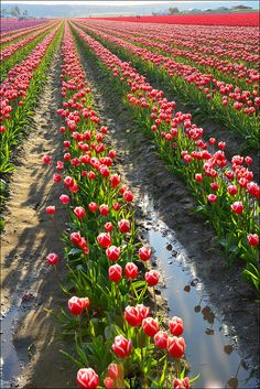 Skaget Valley Tulip Fields, Shadows and Reflections, Washington State | Flickr - Photo Sharing!