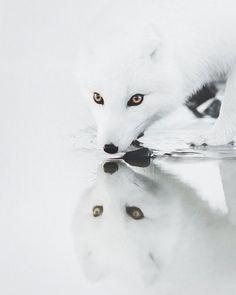 Amazing photo of an arctic fox!