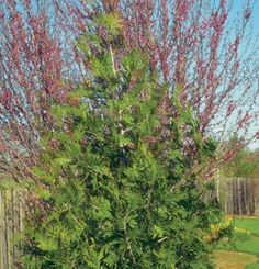 Calocedrus decurrens | Fine Gardening - Slow growing evergreen in full sun to part shade.  30' tall x 15'-30 spread.  Low maintenance.  Drought tolerant, dry to medium moisture.  Once established, thrives in poor soil.
