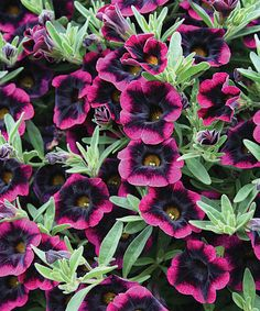 Isn't this color to die for?? Meet Superbells® Blackberry Punch Calibrachoa. This is a new designer color that can't be found on any other Calibrachoa on the retail market. Make sure to plant her where soil has plenty of drainage - preferably containers, baskets, or windowboxes. Calibrachoa prefer soil to be dry between watering and not saturated. http://emfl.us/rSEd