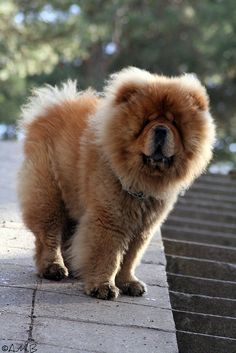 Big squishy fluffball!  The Chow Chow