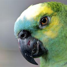 Jacko Nature Animals, Animals And Pets, Cute Animals, Watercolor Pictures, Watercolor Bird, Love Birds, Beautiful Birds, Amazon Parrot, Wild Eyes