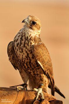 Falcon - gorgeous!