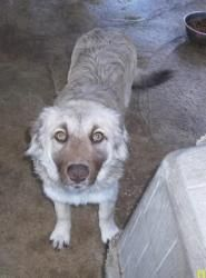 Buck is an adoptable Australian Shepherd Dog in Lockhart, TX. I just got sentenced to prison, more infor coming soon! I am so excited to be in prison where the inmates will teach me all about how a go...