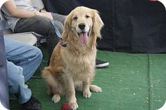 Rancho Santa Margarita, CA - Golden Retriever. Meet Harvey, a dog for adoption. http://www.adoptapet.com/pet/15294833-rancho-santa-margarita-california-golden-retriever