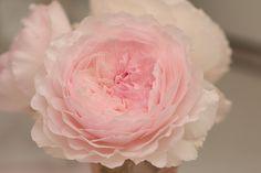のんくり日和: 【バラ】「みさき」が咲きました