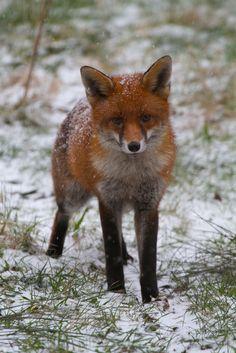 red fox + snow | animal + wildlife photography